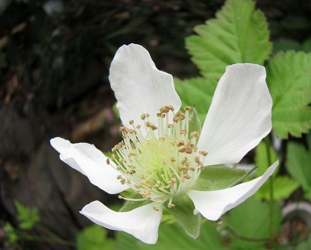 木いちごの花アップ 27.5.21