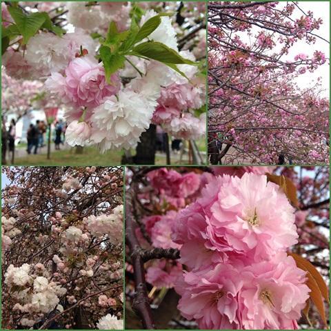 sakura1_convert_20150409230256.jpg