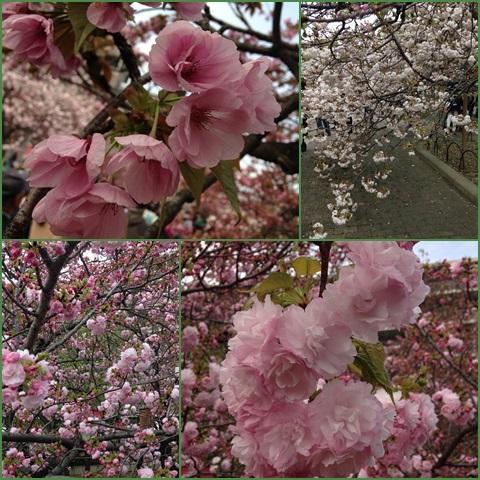 sakura2_convert_20150409230314.jpg
