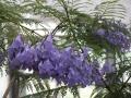 ジャカランダ(紫雲木)4