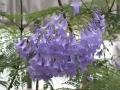 ジャカランダ(紫雲木)3
