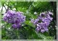 ジャカランダ(紫雲木)