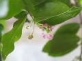アセロラ開花