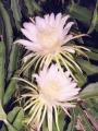 ドラゴン白開花3