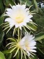 ドラゴン白開花5