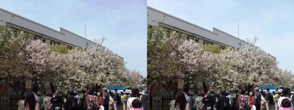 造幣局 桜の通り抜け㉙(平行法)