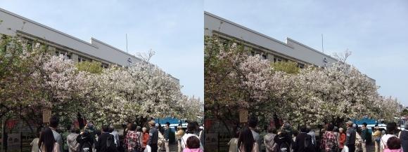 造幣局 桜の通り抜け㉙(交差法)