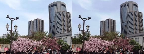造幣局 桜の通り抜け㉗(交差法)