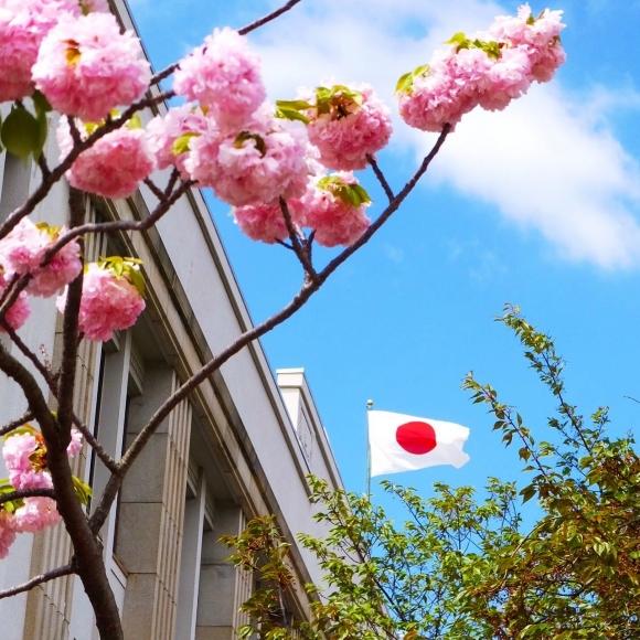 造幣局 桜の通り抜け①