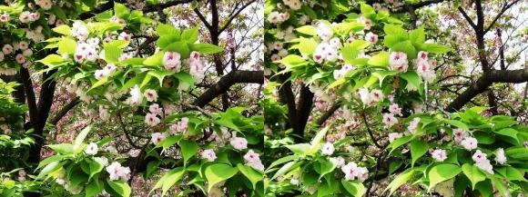 造幣局 桜の通り抜け 今年の花 一葉②(平行法)