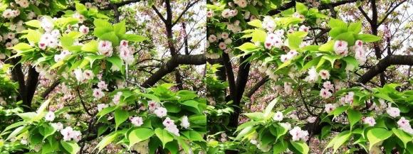 造幣局 桜の通り抜け 今年の花 一葉②(交差法)