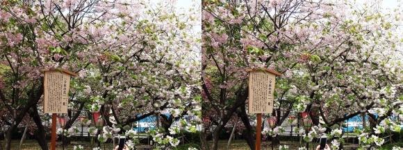 造幣局 桜の通り抜け 今年の花 一葉①(平行法)
