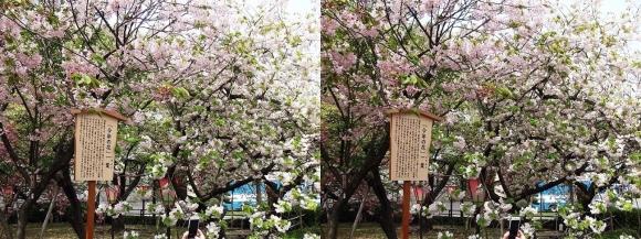 造幣局 桜の通り抜け 今年の花 一葉①(交差法)