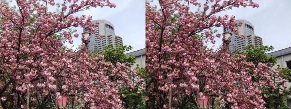造幣局 桜の通り抜け㉖(交差法)
