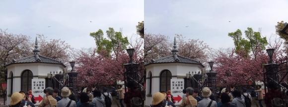造幣局 桜の通り抜け㉕(交差法)