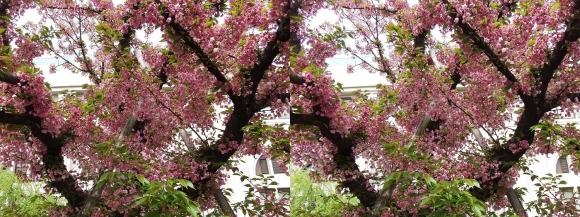造幣局 桜の通り抜け㉔(平行法)