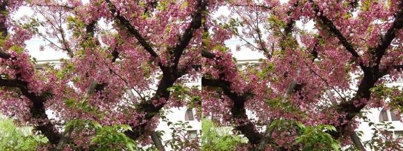 造幣局 桜の通り抜け㉔(交差法)