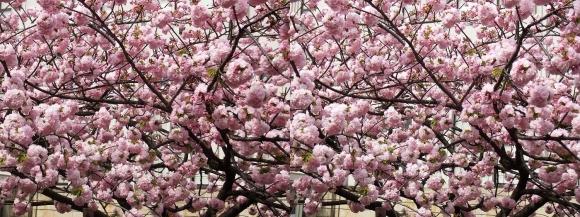 造幣局 桜の通り抜け㉓(平行法)