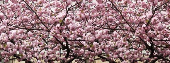 造幣局 桜の通り抜け㉓(交差法)
