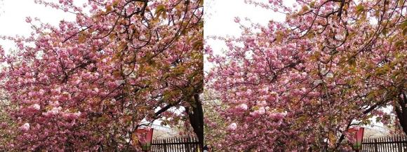 造幣局 桜の通り抜け㉒(平行法)