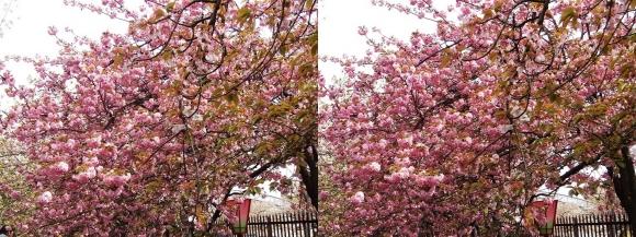 造幣局 桜の通り抜け㉒(交差法)