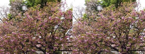 造幣局 桜の通り抜け㉑(平行法)