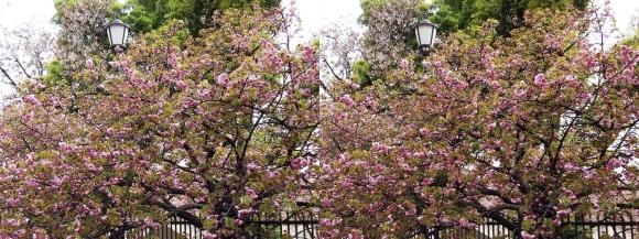 造幣局 桜の通り抜け㉑(交差法)