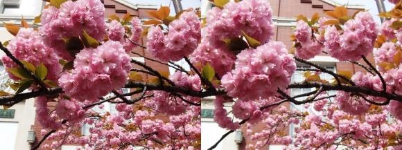 造幣局 桜の通り抜け⑳(平行法)