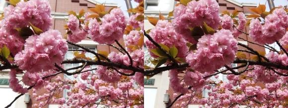 造幣局 桜の通り抜け⑳(交差法)