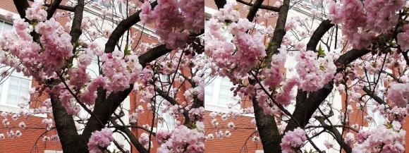 造幣局 桜の通り抜け⑲(平行法)