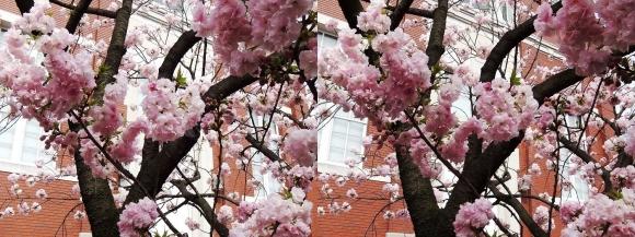 造幣局 桜の通り抜け⑲(交差法)