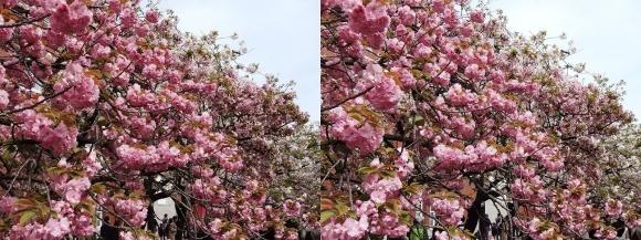 造幣局 桜の通り抜け⑱(平行法)