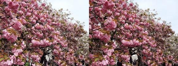 造幣局 桜の通り抜け⑱(交差法)