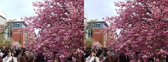 造幣局 桜の通り抜け⑭(交差法)