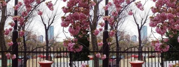 造幣局 桜の通り抜け⑬(平行法)
