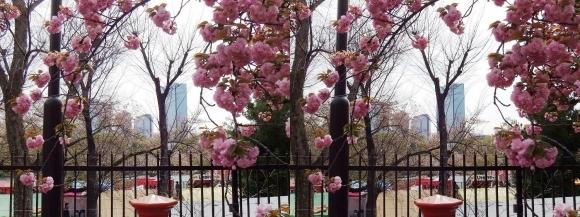 造幣局 桜の通り抜け⑬(交差法)