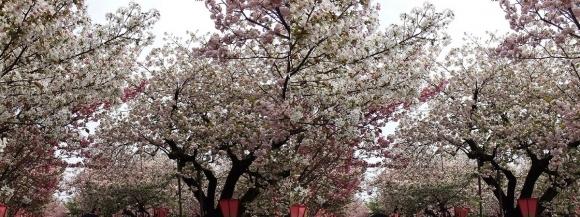 造幣局 桜の通り抜け⑫(平行法)