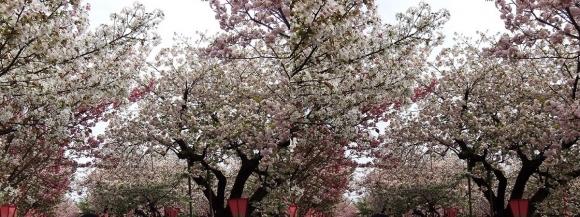 造幣局 桜の通り抜け⑫(交差法)