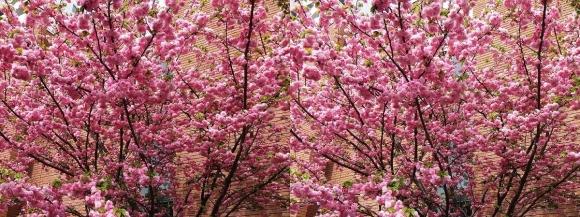 造幣局 桜の通り抜け⑪(平行法)