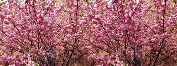 造幣局 桜の通り抜け⑪(交差法)
