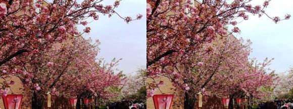 造幣局 桜の通り抜け⑩(平行法)