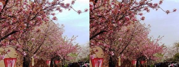 造幣局 桜の通り抜け⑩(交差法)