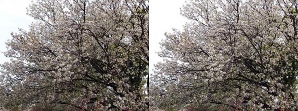 造幣局 桜の通り抜け⑨(平行法)