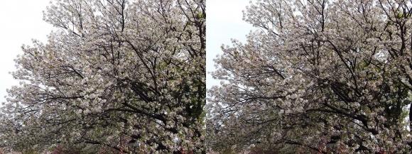造幣局 桜の通り抜け⑨(交差法)