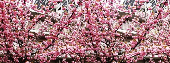 造幣局 桜の通り抜け⑧(平行法)