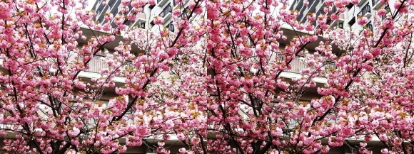 造幣局 桜の通り抜け⑧(交差法)