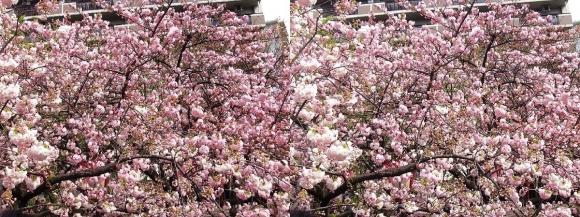 造幣局 桜の通り抜け⑦(平行法)