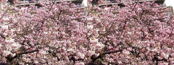 造幣局 桜の通り抜け⑦(交差法)