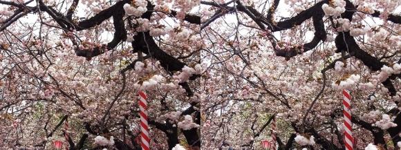 造幣局 桜の通り抜け⑥(平行法)