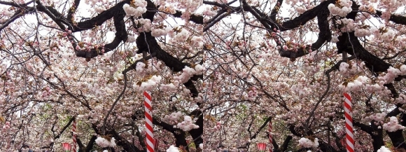 造幣局 桜の通り抜け⑥(交差法)